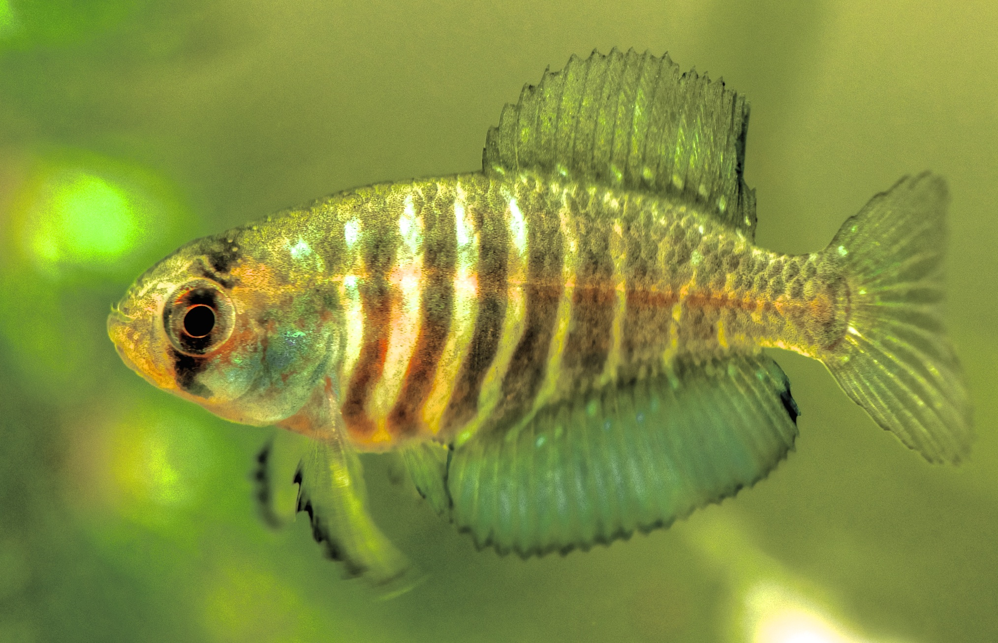 Austrolebias charr (male), an annual killifish